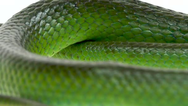 Nosorožec Rathad nebo Rhynchophis Boulengeri. Také známý jako Rhinoceros Snake, Rhino Rat Snake, Vietnamese Longnose Snake, nebo Green Unicorn stočený na bílém pozadí. Zavřít