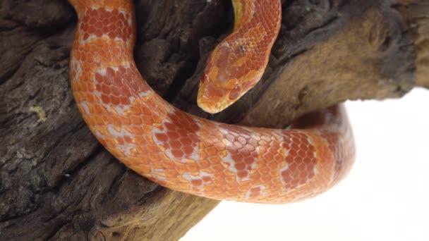 Tygr Python molurus bivittatus morf albine barmština na dřevěné záchytce v bílém pozadí. Zavřít