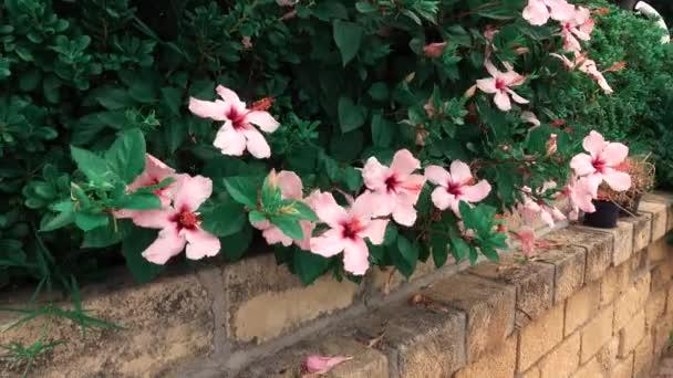 Zöld bokor virágzó rózsaszín hibiszkusz a kikötő Portorosa, Olaszország