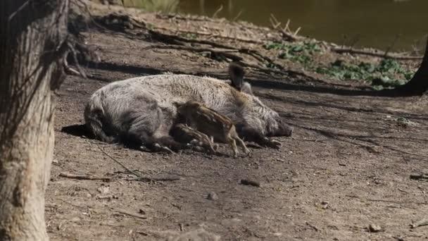 Vaddisznó - Sus scrofa - egy nőstény, hogy fekszik a földön, és táplálja a kis malacok. Videó a vadonból.