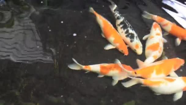 Koi hal az otthoni cementtóban.