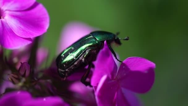 big green bug beetle on a pink violet flower
