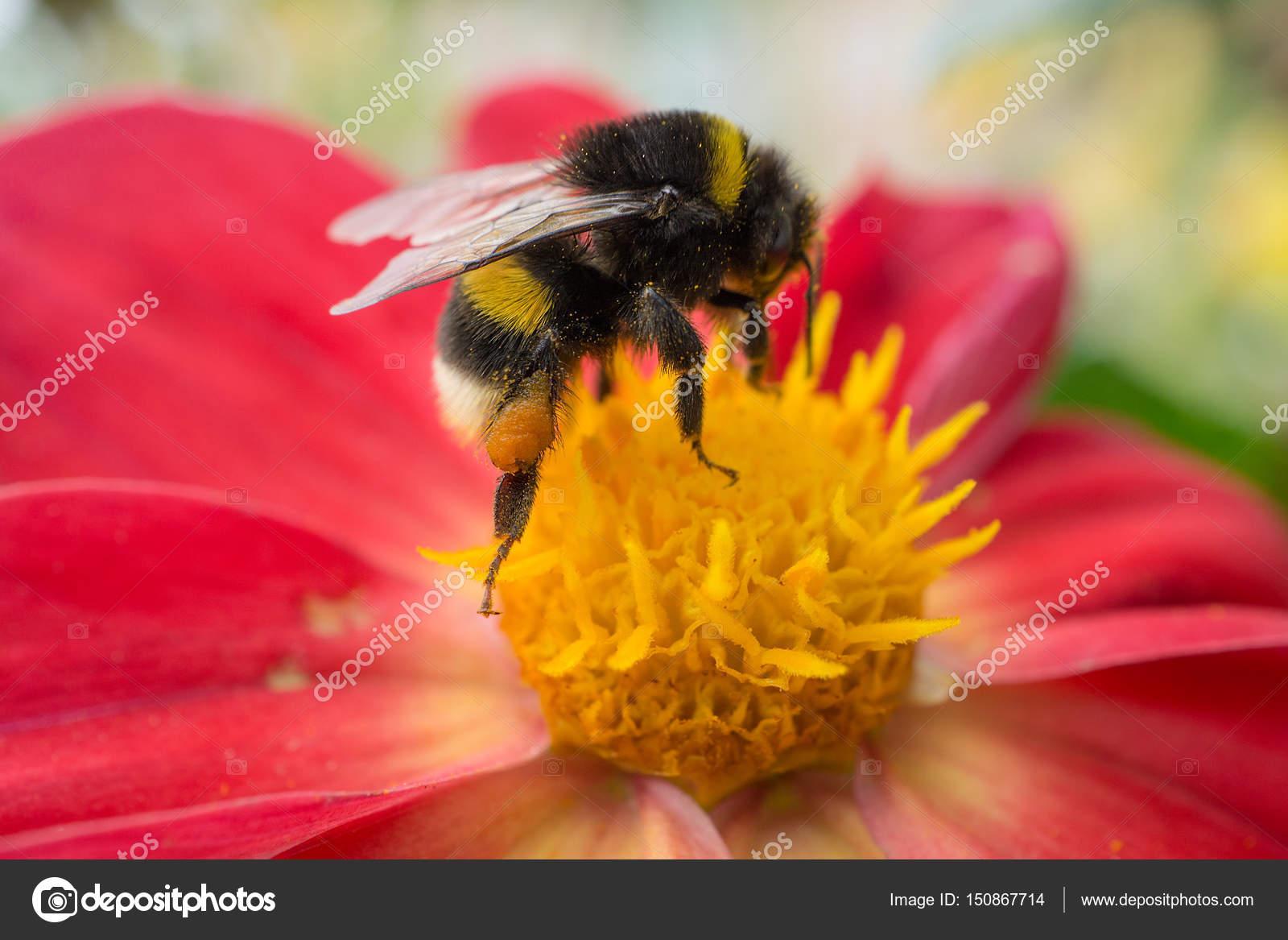 Bee sitting on beautiful red flower stock photo pavellanenko bee sitting on beautiful red flower stock photo izmirmasajfo