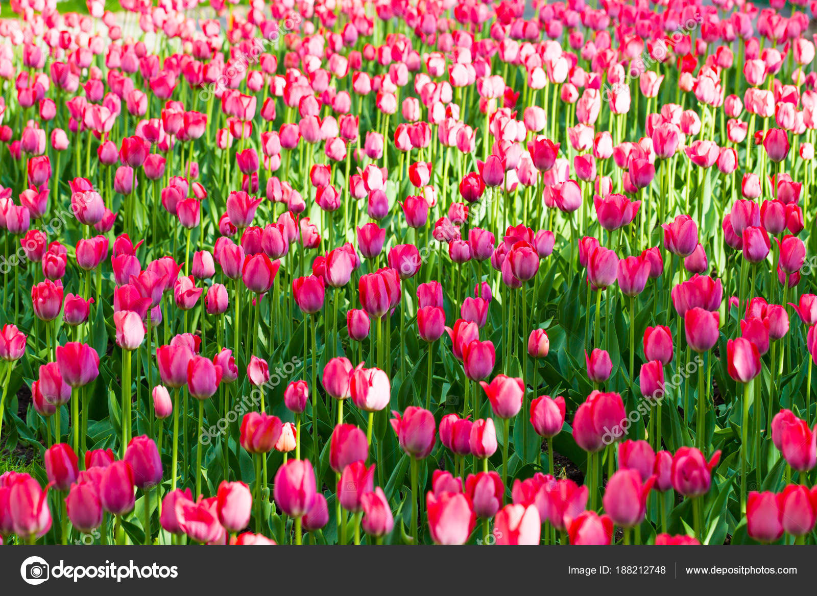 Field of tulips spring flowers on the flower beds stock photo spring flowers on the flower beds stock photo mightylinksfo