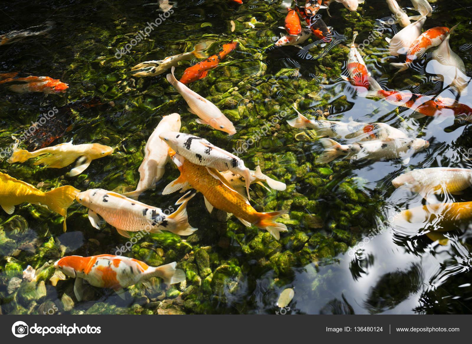 Pesci colorati o carpa o fantasia carpa carpa noto anche for Pesci di stagno