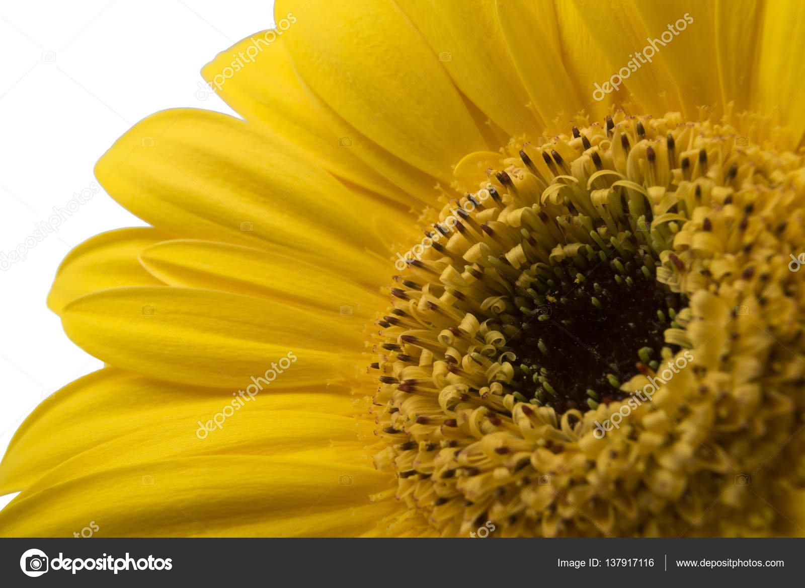 Vibrant bright yellow gerbera daisy flower blooming isolate on white vibrant bright yellow gerbera daisy flower blooming isolate on white background stock photo izmirmasajfo