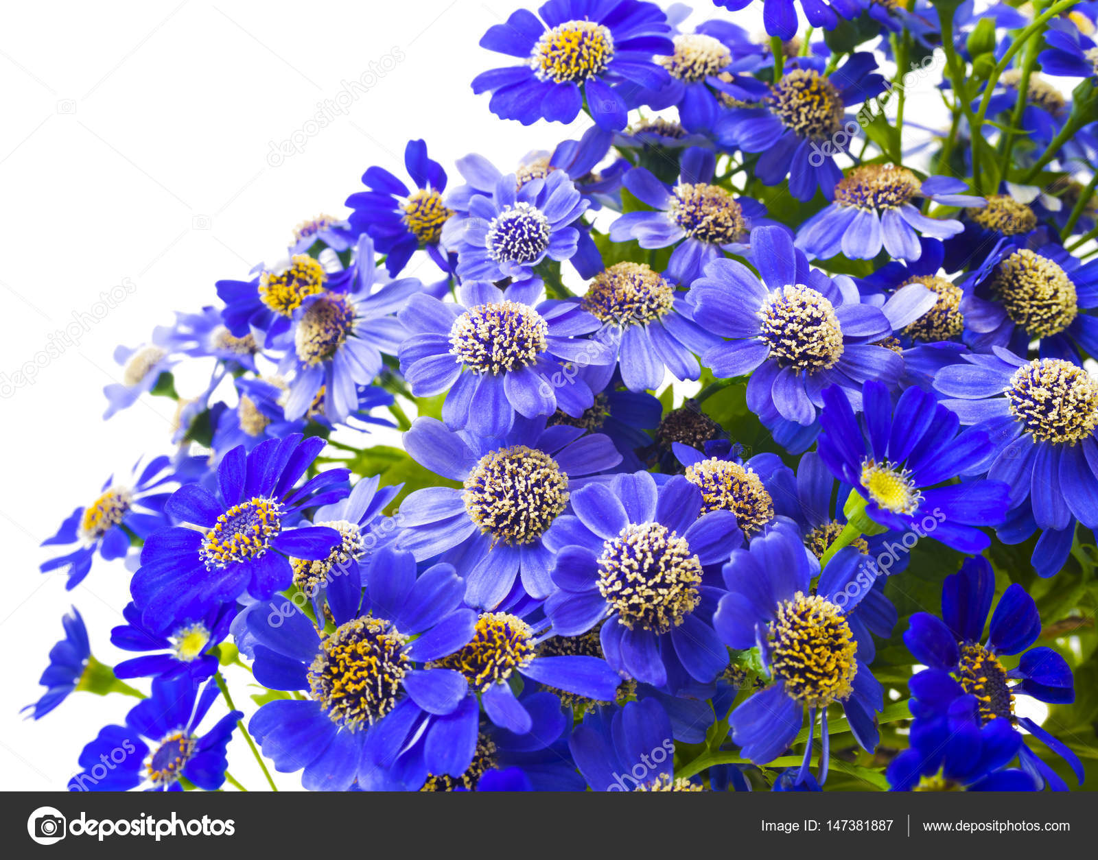 Close Up Of Blue Flowers Of A Camomile Fresh Spring Flowers