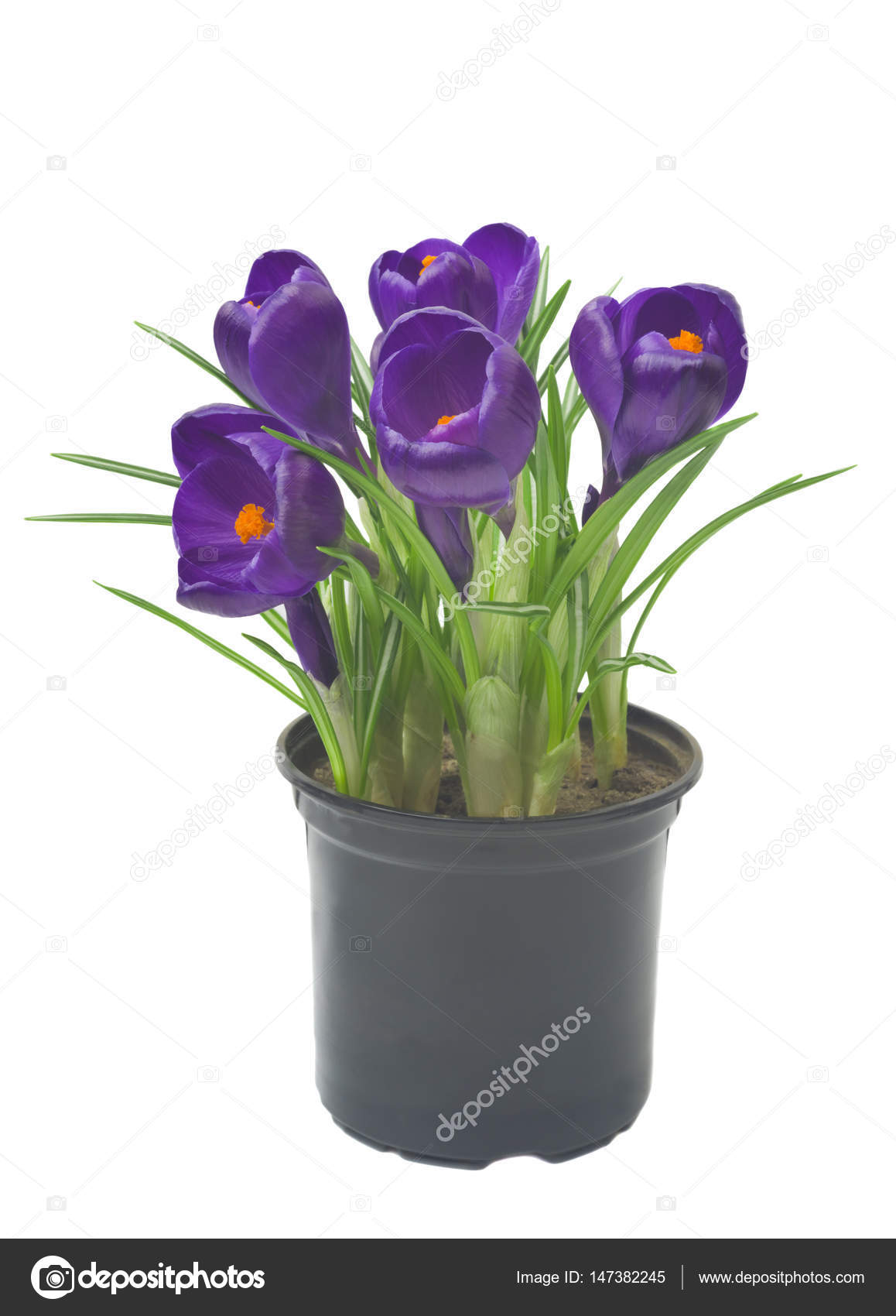 Crocus In A Pot On A White Background Fresh Spring Flowers