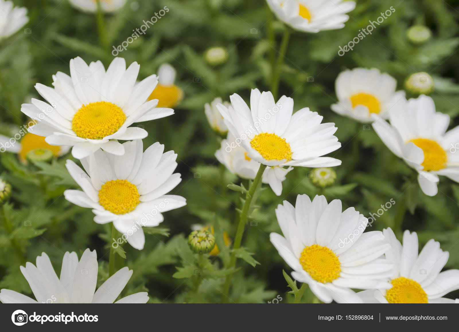 Beautiful White Daisy Flower Background Bright Chamomiles