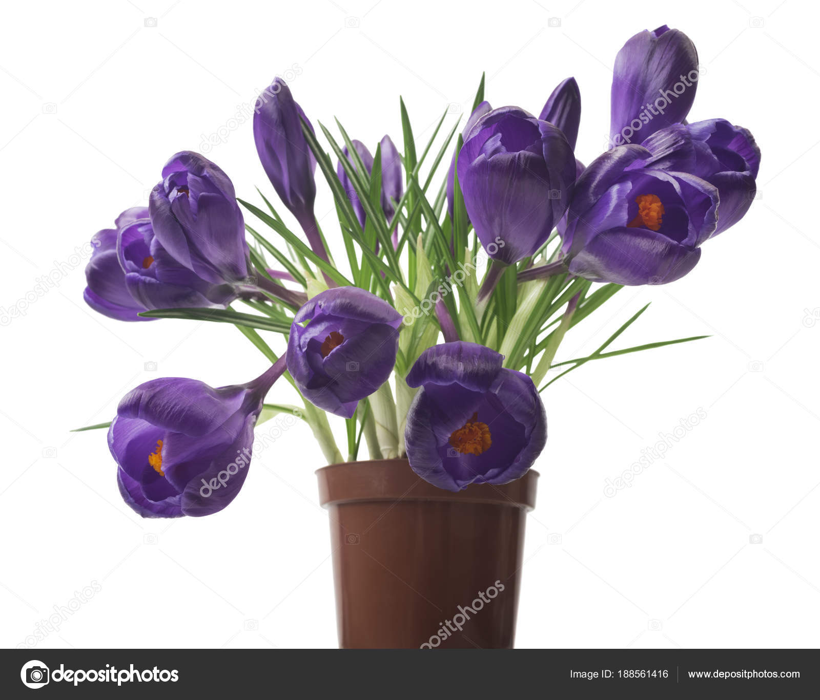 Beautiful crocus white background fresh spring flowers violet crocus beautiful crocus on white background fresh spring flowers violet crocus flowers bouquet selective focus photo by ulkan mightylinksfo
