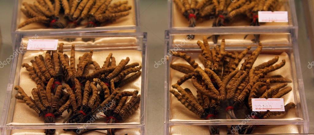 Cordyceps (Ophiocordyceps sinensis) - famous ingredient of tradi