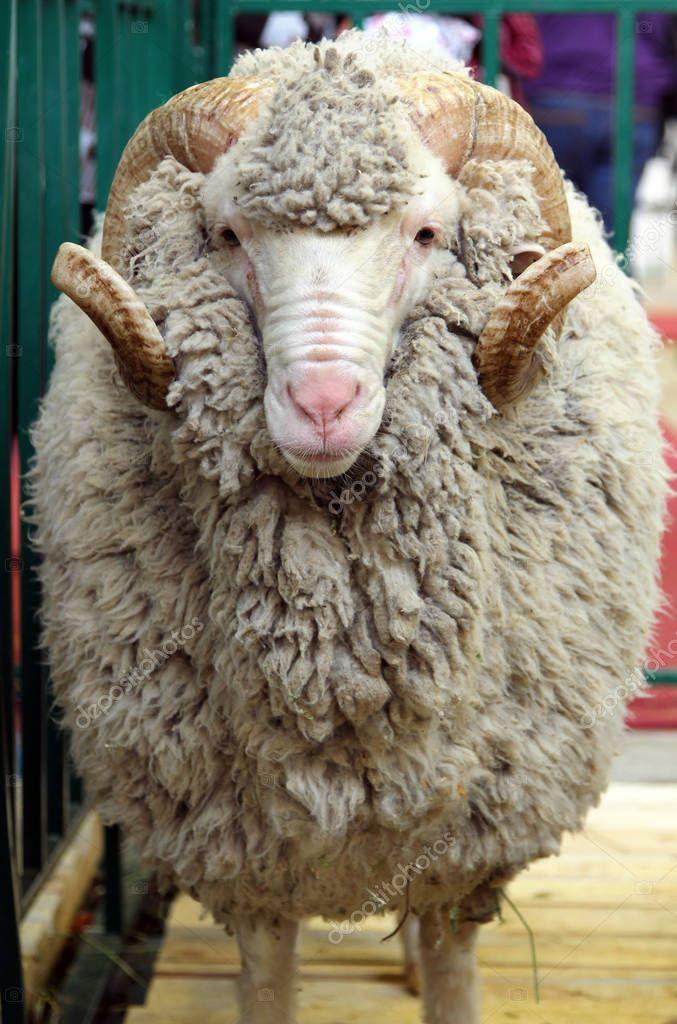 Portrait of white ram (Soviet Merino breed)