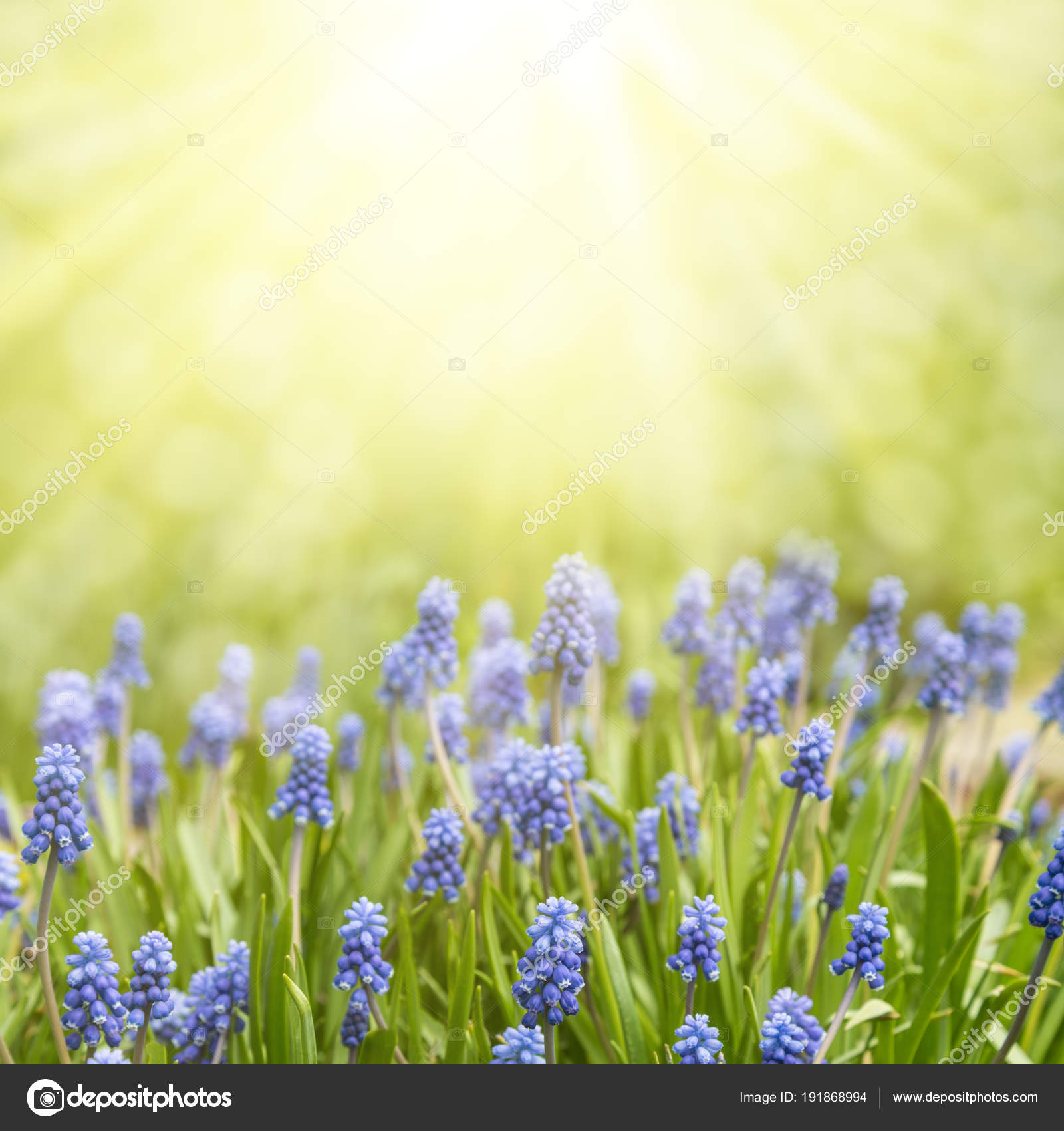Spring Floral Background Flowers Of Muscari In The Sun Stock