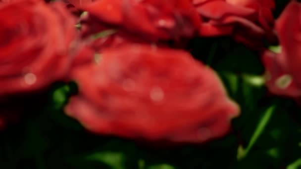 Red rose composition with water drops  for edit and experiments