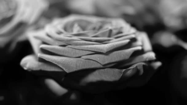 Schwarze und weiße Rosen mit ein paar Wassertropfen für Ihre Experimente und perfekte Bearbeitung