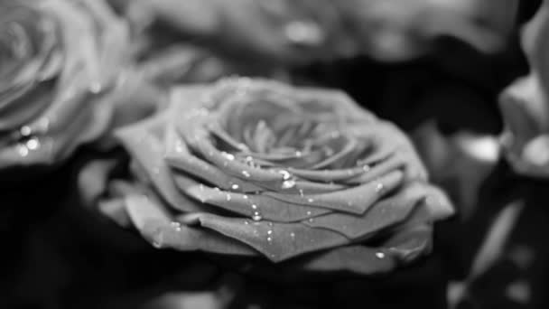 Black and white roses with some water drops for your experiments and perfect edit