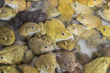 Many toads and frogs gathered. Bangrak market, Koh Samui, Thailand.