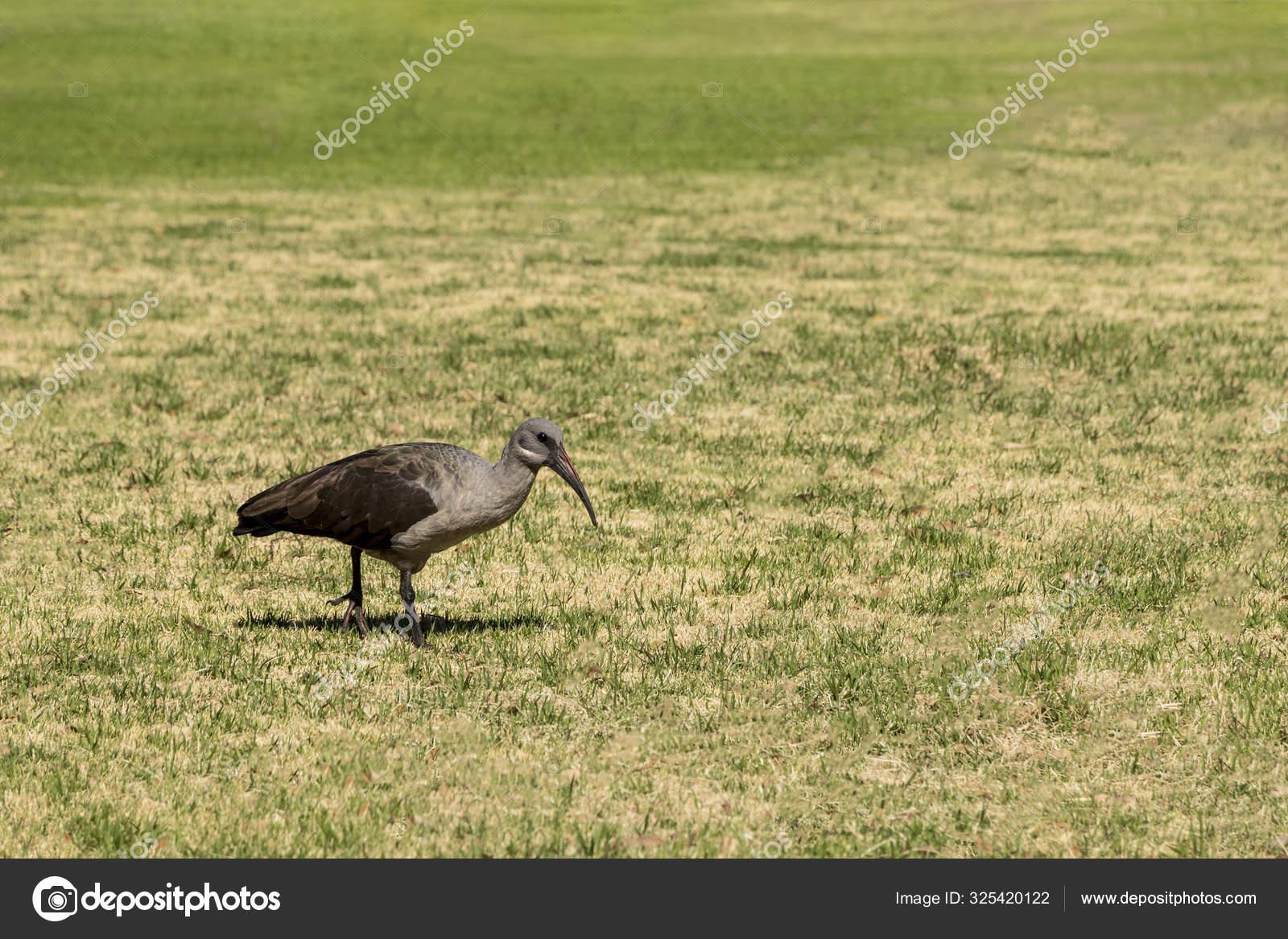 веником пыль фото птицы хадада может вдохновить