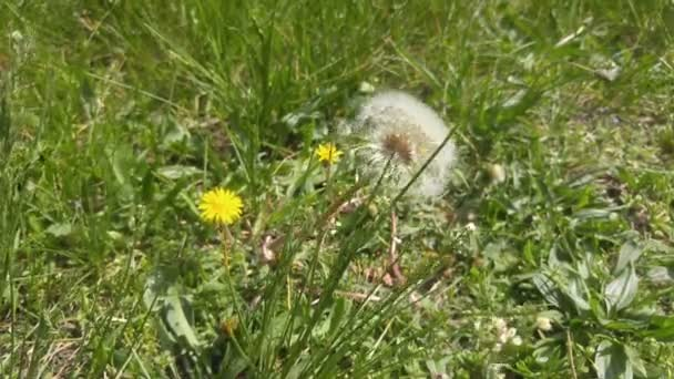 Dandelion flower blossoming composition on green grass