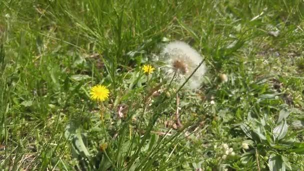 Pitypang virág virágzó összetétele a zöld fű