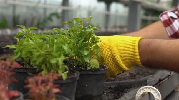 Gärtnerhände legen Pflanzen in Treibhaus in die Regale und ziehen dekorative Blumen heran