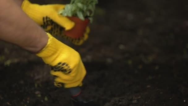 Hands of gardener planting flower seedling in ground, landscape design hobby