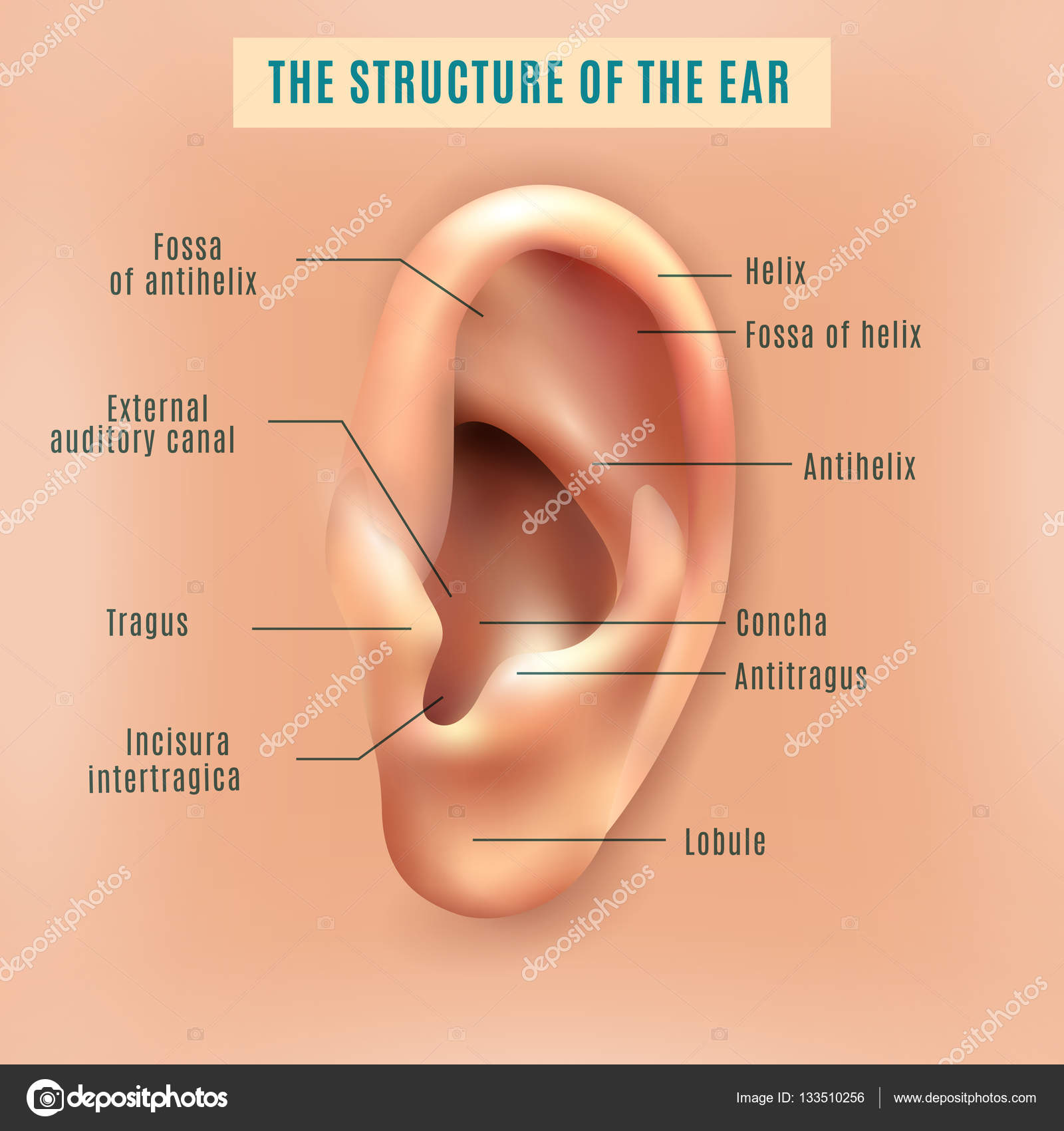 Human ear structure medical background poster stock vector outer external part of human ear structure picture and definitions medical anatomy educative background poster vector illustration vector by macrovector pooptronica