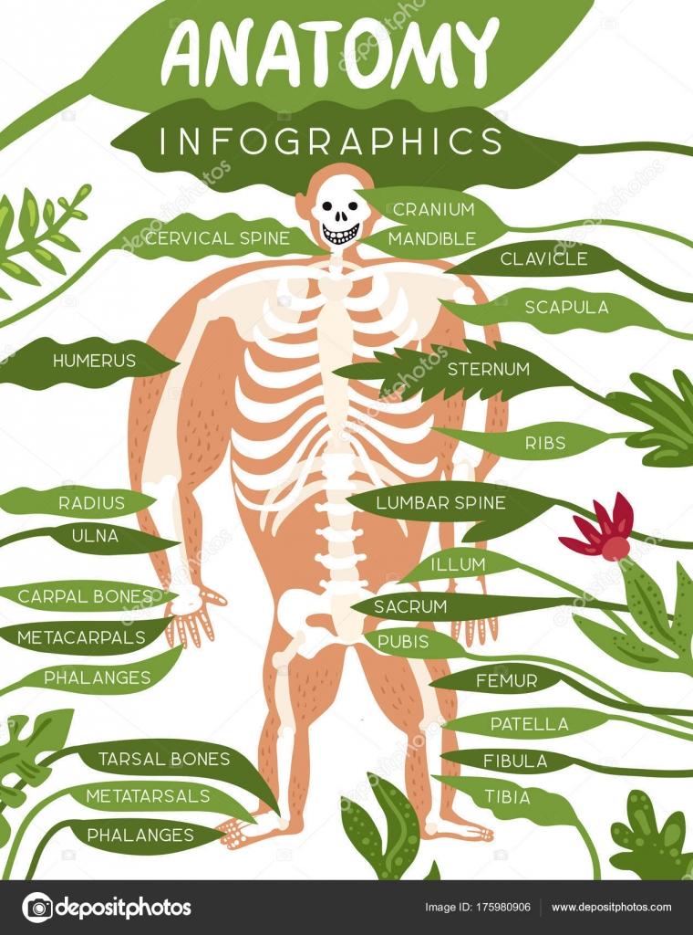 Skelett Anatomie Infografiken — Stockvektor © macrovector #175980906