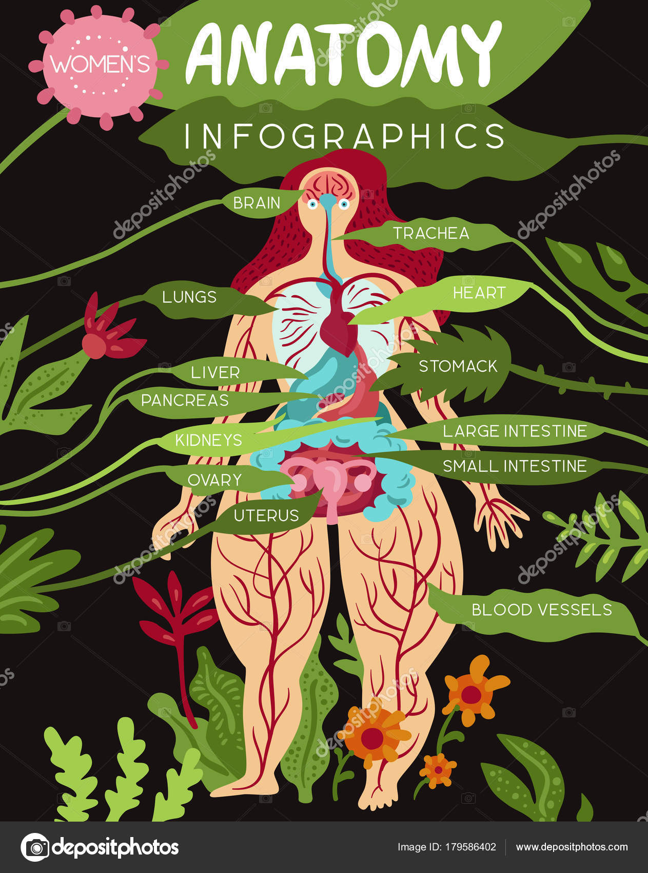 Infografía de anatomía de los órganos de las mujeres — Archivo ...