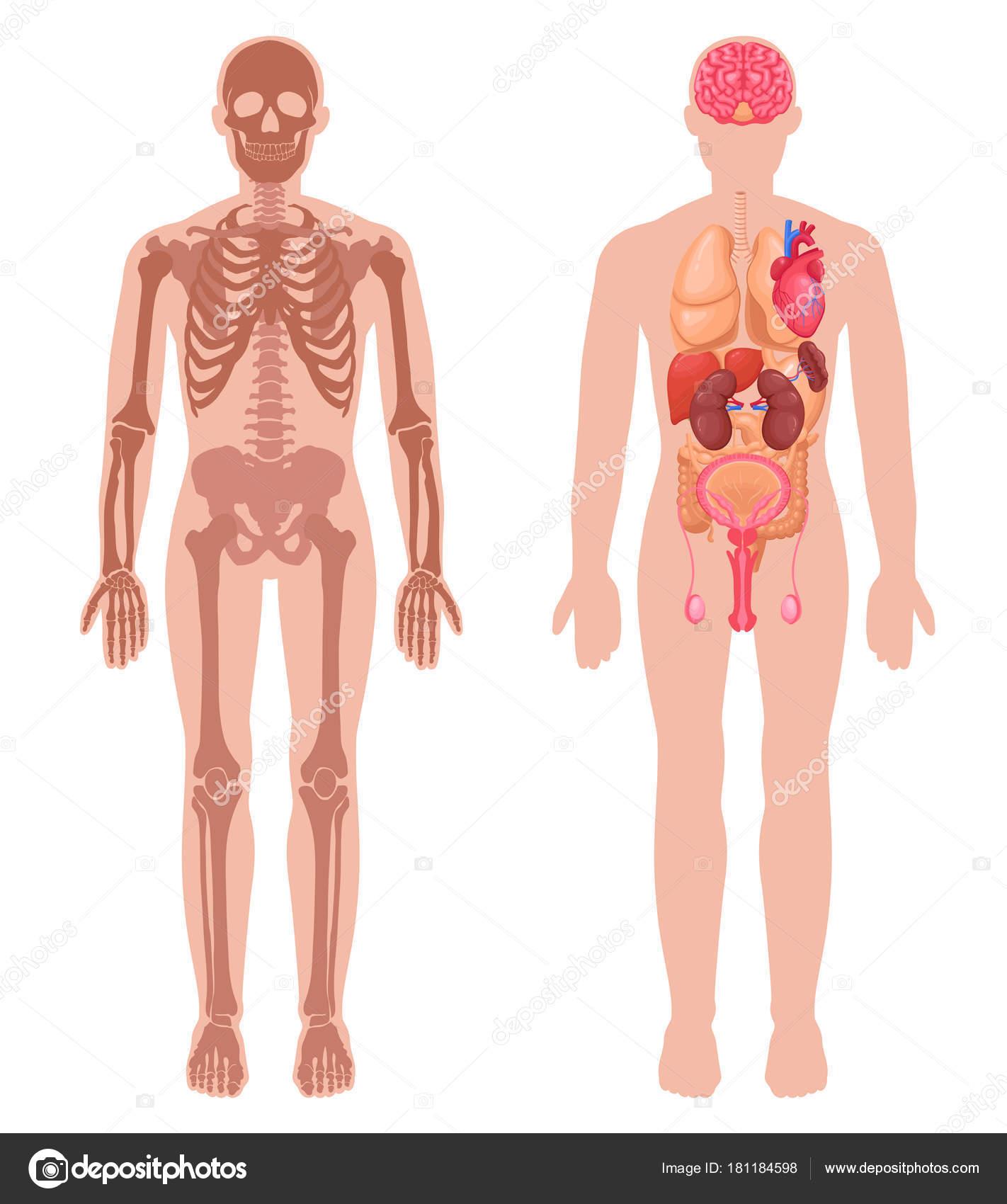 Menschliche Anatomie-Set — Stockvektor © macrovector #181184598