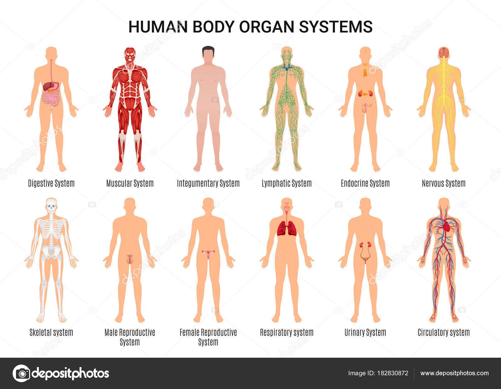 Human Body Organ Systems Poster — Stock Vector © macrovector #182830872