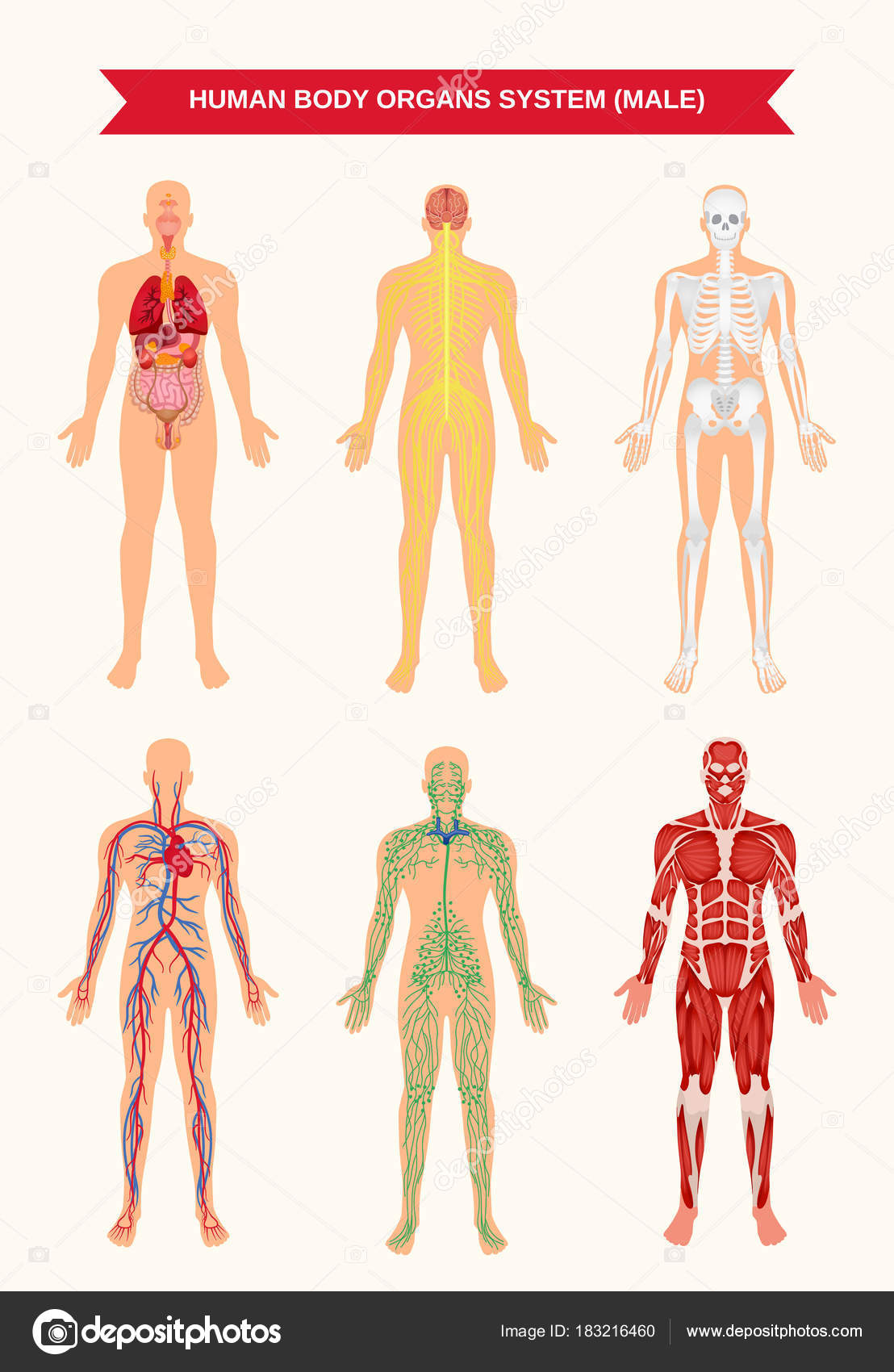 Männlichen Körper Organ Systeme Poster — Stockvektor © macrovector ...