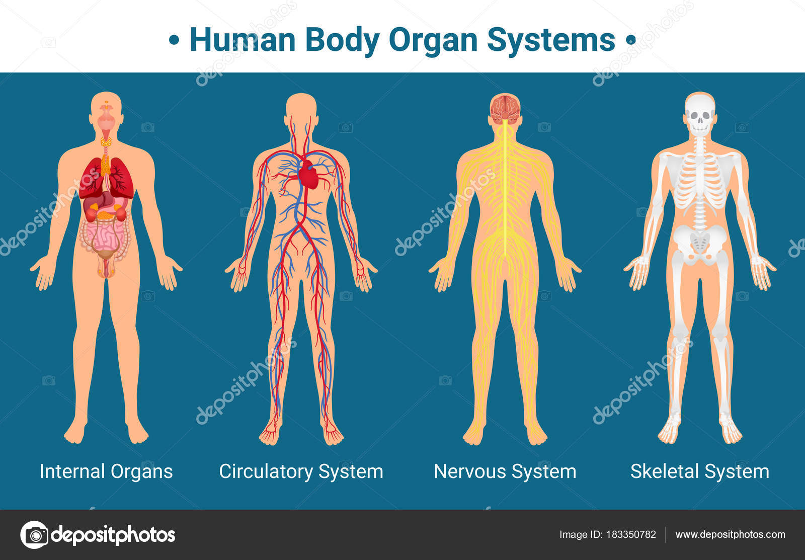 Human Body Organ Systems Poster Stock Vector C Macrovector 183350782