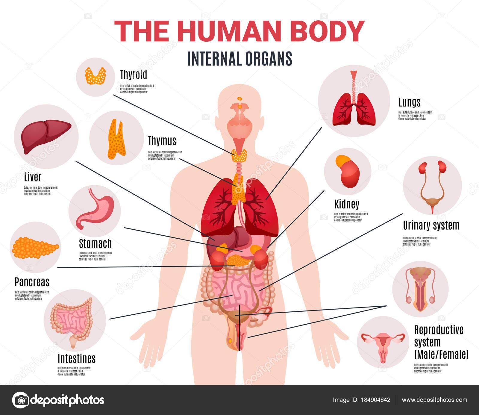 Los órganos internos humanos infografía Poster — Archivo Imágenes ...