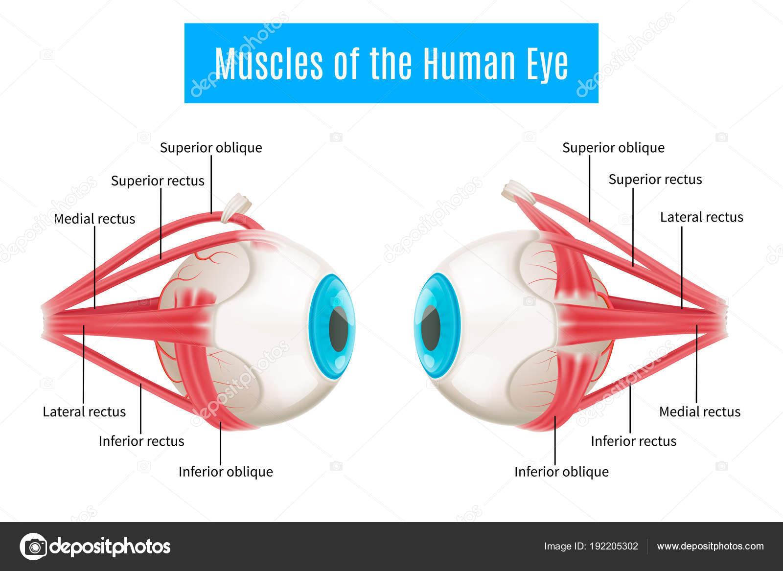 Menschliche Anatomie Augendiagramm — Stockvektor © macrovector ...