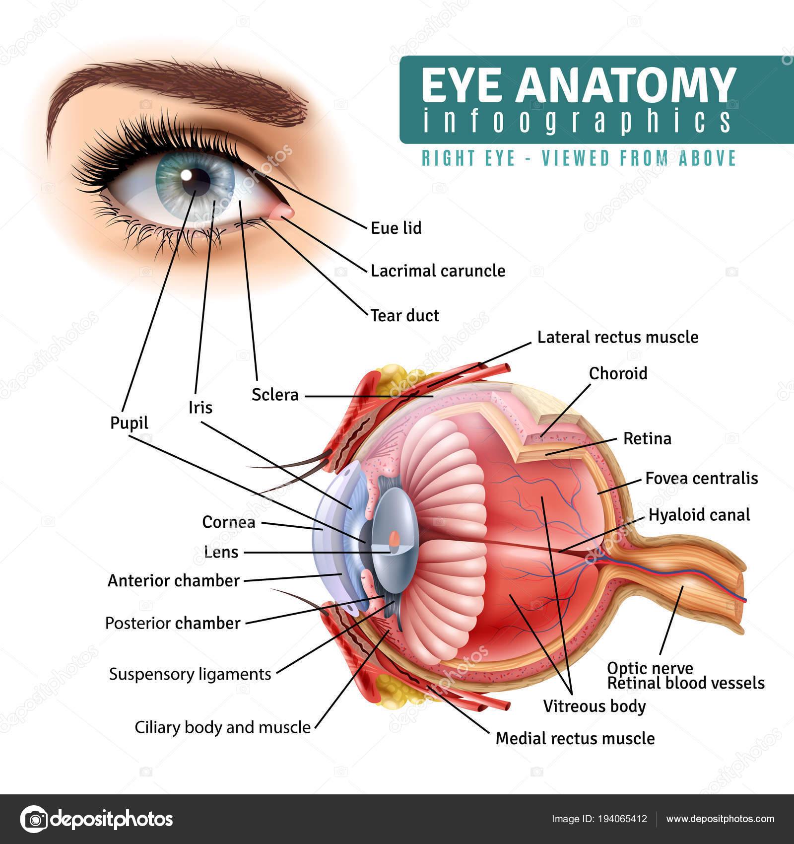 Anatomía de ojo realista infografía — Vector de stock © macrovector ...