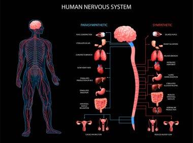 """Картина, постер, плакат, фотообои """"фон нервной системы человека """", артикул 373015512"""