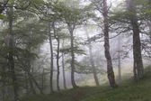 Green Forest in fog