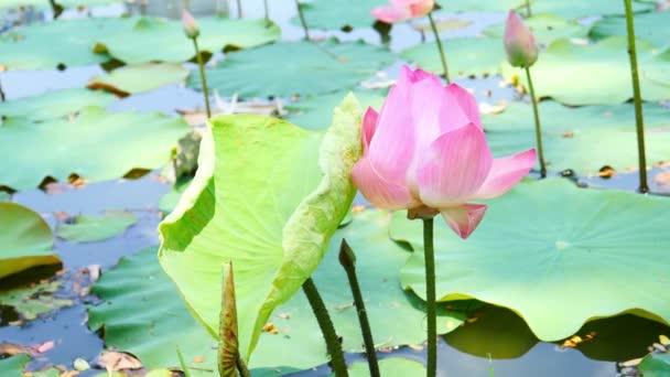 Gyönyörű lótuszvirág virágzik a tóban.
