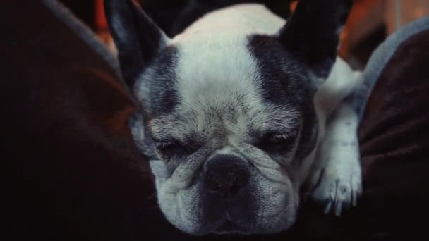 Close up of French bulldogs sleeping on bed