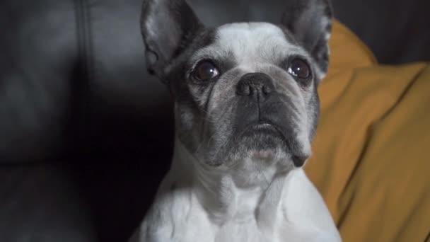 Lezárt felvétel végzős francia bulldog ül kanapén otthon