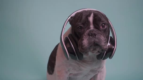 funny portrait of french bulldog with headphones on blue background