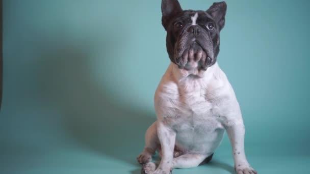 Stúdió portré pontos francia bulldog kék háttér