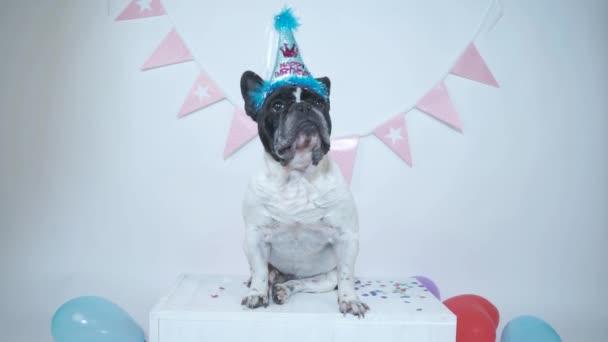 Francia bulldog ül fél kalap kap konfetti születésnapjára fehér stúdió háttérben. Boldog szülinapot!.