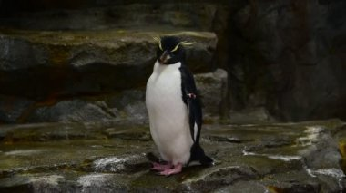 A Rockhopper penguin in zoo