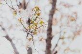 Soft tóny růžové a bílé jarní květy na stromě s overcas