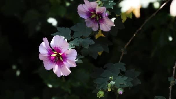 hibiscus syriacus althea Sharon rózsa (más néven afrodit hibiszkusz) fa fehér és rózsaszín virágokkal és a kamera kicsinyítése, sekély mélységű mezővel