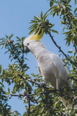 sulphur crested cockatoo on top of tree branches eating fruits