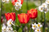 Szelektív összpontosítás gyönyörű friss vörös tulipán teljes virágzatú és teljes csapás és izzó háttérvilágítás tavasszal elmosódott háttérrel és intenzív vörös szirmok a kert szerelmeseinek tulipán fantáziák