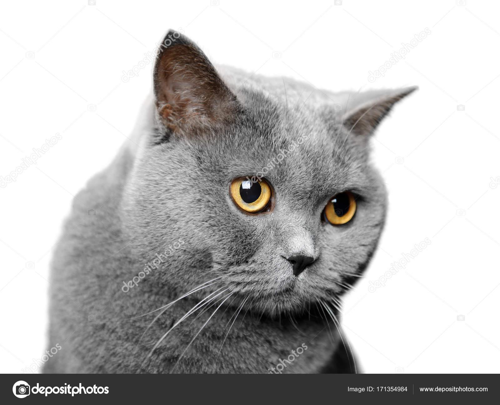 Kot Brytyjski Krótkowłosy Zdjęcie Stockowe Gilotyna 171354984